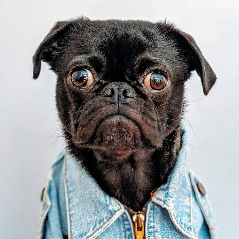 fancy-pug-filter